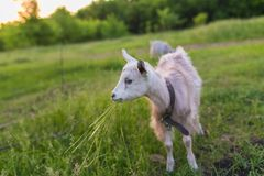 Portrait of goat eating a grass on meadow Royalty Free Stock Photography