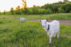 Portrait of goat eating a grass on meadow Stock Photos