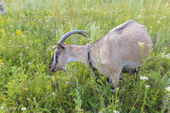 Portrait of goat eating a grass on meadow Royalty Free Stock Photo