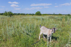 Portrait of goat eating a grass on meadow Royalty Free Stock Photos