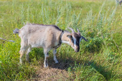Portrait of goat eating a grass on meadow Stock Photo