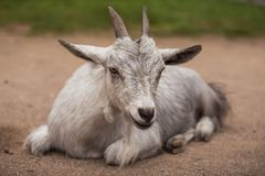 Portrait of a Goat on the Farm royalty free stock photo