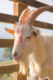 Portrait of goat in the farm Royalty Free Stock Photography