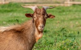 Portrait of goat in the field at sunrise royalty free stock image