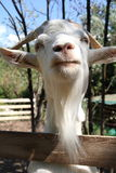 Portrait of goat Royalty Free Stock Photo