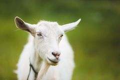 Portrait of goat Royalty Free Stock Images