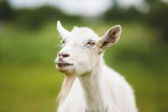 Portrait of goat Royalty Free Stock Image