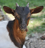 Portrait of a goat in a green meadow Royalty Free Stock Images