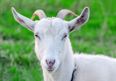 Portrait of a goat. Royalty Free Stock Image
