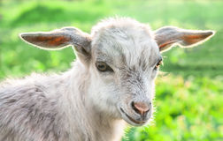 Portrait of a goat on a green meadow. Royalty Free Stock Photos