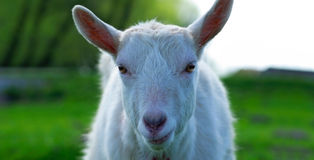 Portrait of a goat Royalty Free Stock Images