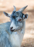 Portrait of goat. Stock Photography