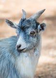 Portrait of goat. Stock Photography
