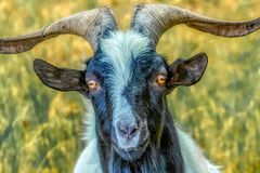 Portrait of a goat with orange eyes royalty free stock images
