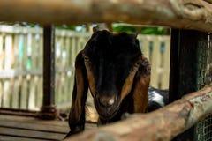Portrait Goat in Paddock Wood. Portrait Goat in Paddock Wood ,Thailand Stock Photos