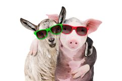 Portrait of a goat and a pig embracing each other in sunglasses. Isolated on white background stock photos
