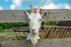 Portrait of a goat Stock Images