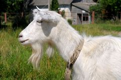 Portrait of a goat in profile Stock Photos