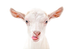 Portrait of a goat showing tongue. Closeup, isolated on white background Royalty Free Stock Photos