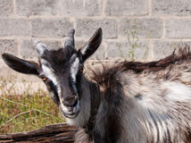 The portrait of goat Stock Images