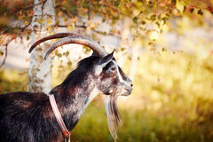 Portrait of a goat under a birch. Stock Photos
