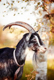 Portrait of a goat under a birch. Stock Photo