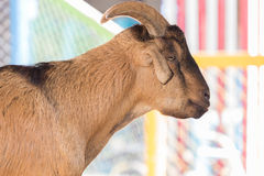 Portrait goat with warm tone. Royalty Free Stock Photography