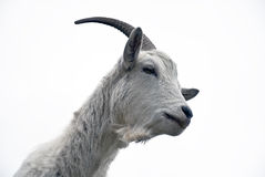 Portrait of goat on a white background Stock Photography