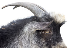 Portrait of goat on a white background Stock Image