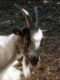 Portrait of goat with white beard. Image of goat stock image