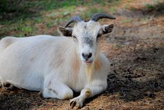 Portrait of a Goat. A white goat laying down on the ground Stock Photo