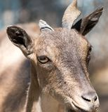 Portrait of a goat in the zoo.  Royalty Free Stock Photos