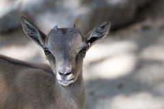 Portrait of a goat in the zoo.  Stock Photos