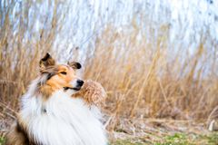 Portrait of a gold rough collie holding reed in her mouth stock photo