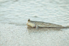 Portrait of a Gold Spotted Mud Skipper Royalty Free Stock Photos
