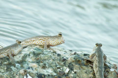 Portrait of a Gold Spotted Mud Skipper Stock Photos