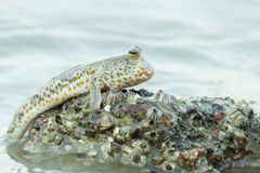 Portrait of a Gold Spotted Mud Skipper. During low tide Royalty Free Stock Image