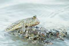 Portrait of a Gold Spotted Mud Skipper Royalty Free Stock Photo