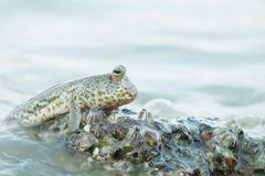 Portrait of a Gold Spotted Mud Skipper Stock Image