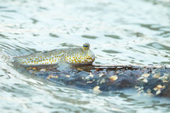 Portrait of a Gold Spotted Mud Skipper Stock Images