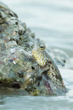 Portrait of a Gold Spotted Mud Skipper Stock Photo