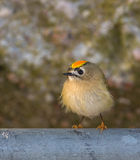 Portrait of a Goldcrest Royalty Free Stock Images