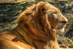 a protrait of a lion royalty free stock image