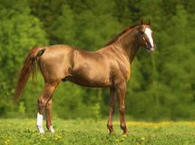 Portrait of the golden Don horse in summer Stock Image