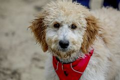 Portrait of a golden doodle. Pretty golden doodle at the park royalty free stock images