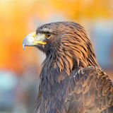 Portrait of a Golden Eagle Stock Photos