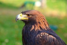 Portrait of a Golden Eagle. (Aquila chrysaetos Stock Image