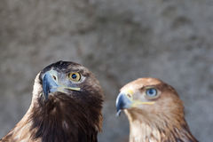 Portrait of a golden eagle against the rock Royalty Free Stock Photography