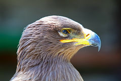 Portrait of a Golden Eagle (Aquila chrysaetos) Royalty Free Stock Image