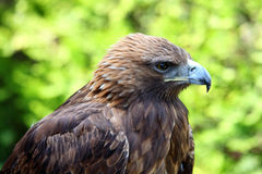Portrait of a Golden Eagle (Aquila chrysaetos) Royalty Free Stock Photos